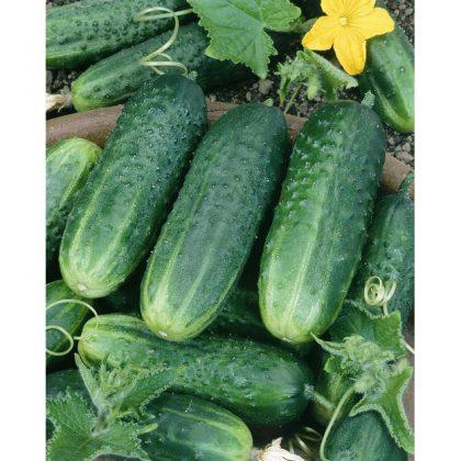 Cucumber - Carolina F1