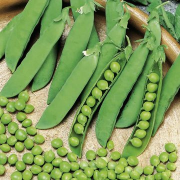 Peas - Alderman