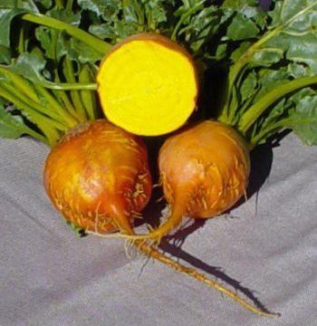 Beet - Burpee's Golden