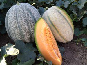 Melon - Samson F1