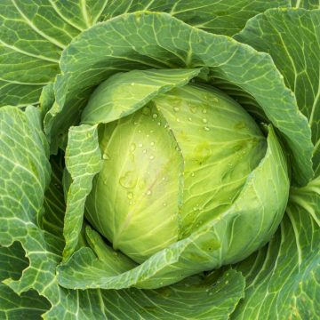 Cabbage - Golden Acre Early Round