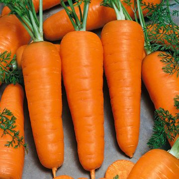 Carrot - Chantenay Royal; Chantenay