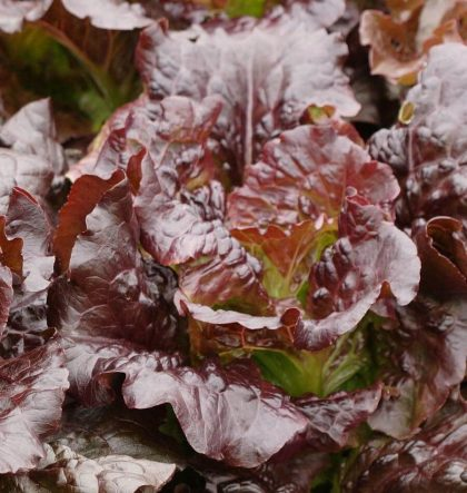 Lettuce - Romaine Cimmaron