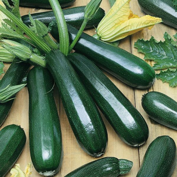 Squash - Zucchini Dark Green