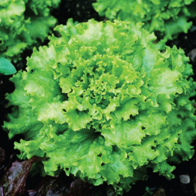 Lettuce - Grand Rapids TBR
