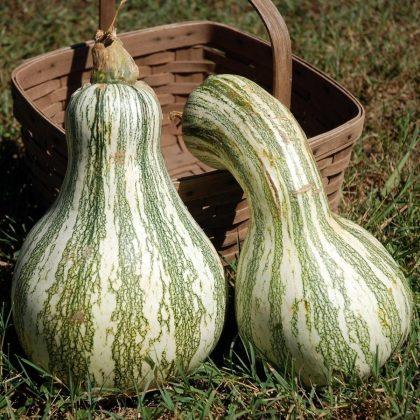 Pumpkin - Green Striped Cushaw
