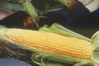 Corn - Incredible