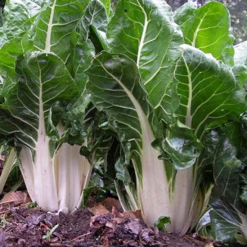 Swiss Chard - Large White Ribbed