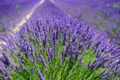 Herb - Lavender Vera