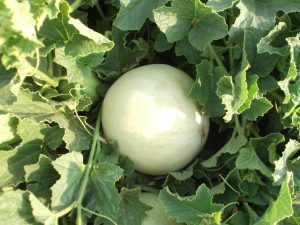 Melon - Honey Dew Green Flesh