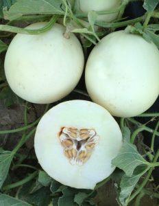 Melon - Luna F1