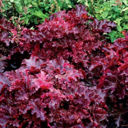 Lettuce - Midnight Ruffles