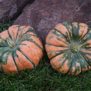Pumpkin - Troll