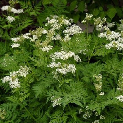 Herb - Anise