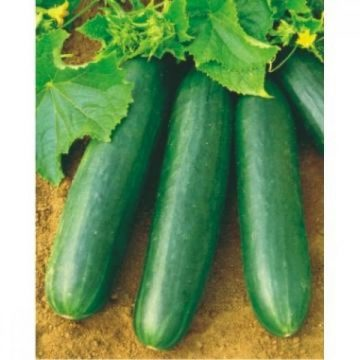 Cucumber - Marketeer