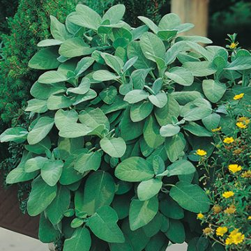 Herb - Sage Broadleaf