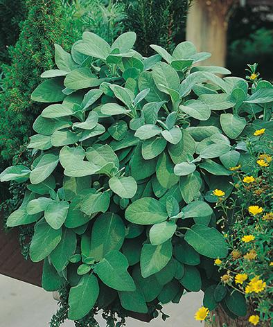 Herb - Sage Broadleaf