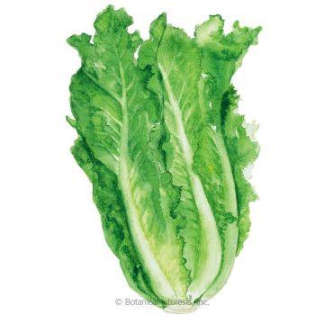 Lettuce - Parris Island Cos